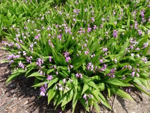 bletilla-striata-orchid-e-01.jpg